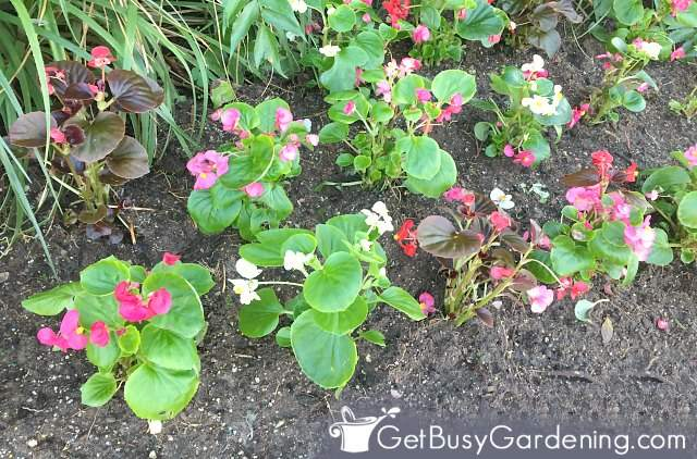 Begonias planted outside in the garden